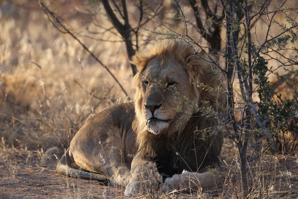 Lion in Namibias Wildlife